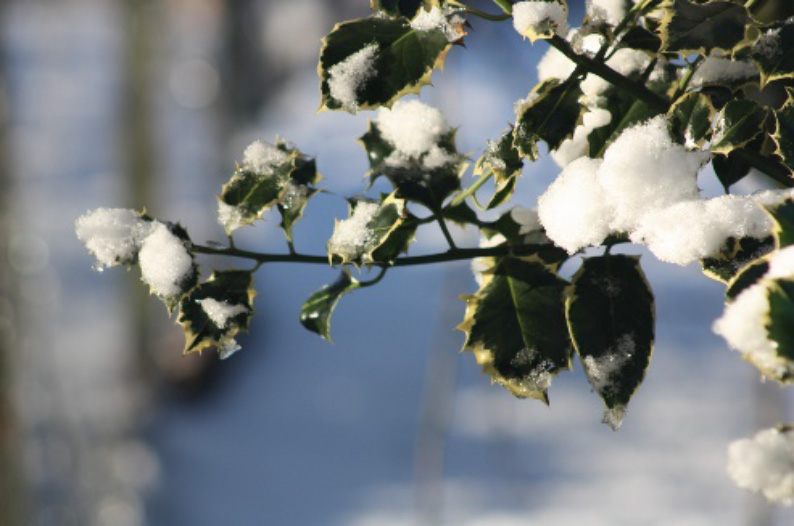 Winter: holly bush in the snow