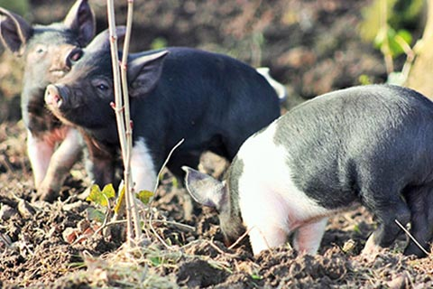 SIGHTSEEING – Piglets, nearby Cambo Estate